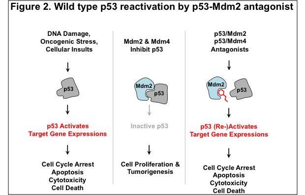 Figure 2. Wild type p53